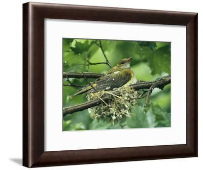Female Golden Oriole Sitting in her Nest in a Tree Top-Klaus Nigge-Framed Photographic Print