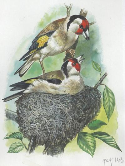 Female Goldfinch Carduelis Carduelis Warming its Eggs While Her Mate Feeding Her--Giclee Print