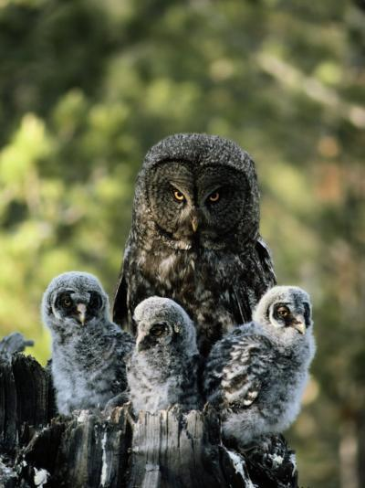 Female Great Gray Owl and Her Three Babies-Michael S^ Quinton-Photographic Print