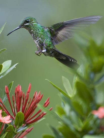 Female Green-Crowned Brilliant Hummingbird Hovering at a Flower-Tim Fitzharris-Photographic Print