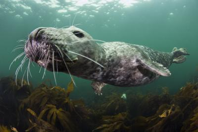 Female Grey Seal Juvenile Swimming over Kelp, Off Farne Islands, Northumberland-Alex Mustard-Photographic Print