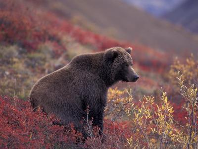 Female Grizzly Bear in Alpine Tundra, Denali National Park, Alaska, USA-Hugh Rose-Photographic Print