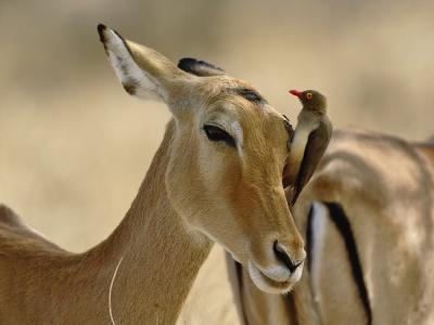 Female Impala with Red-billed Oxpecker, Samburu Game Reserve, Kenya-Adam Jones-Photographic Print