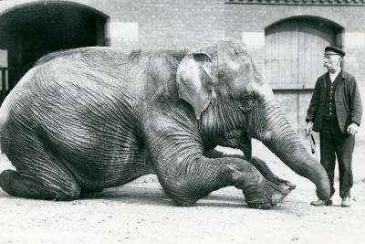 Female Indian Elephant 'Suffa Culli'-Frederick William Bond-Photographic Print
