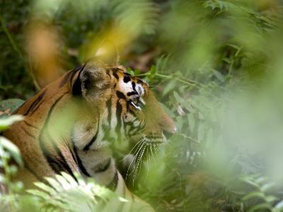 Female Indian Tiger (Bengal Tiger) (Panthera Tigris Tigris), Bandhavgarh National Park, India-Thorsten Milse-Photographic Print