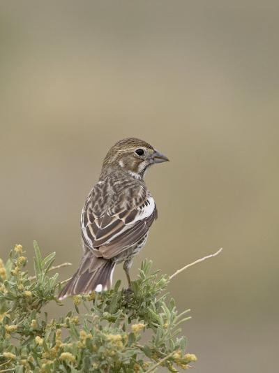 Female Lark Bunting, Pawnee National Grassland, Colorado-James Hager-Photographic Print