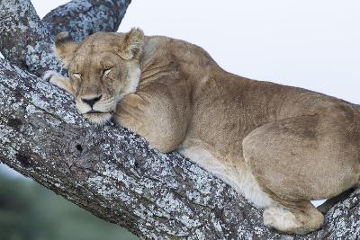 Female Lion Sleeping in Acacia Tree in Jungle, Ngorongoro, Tanzania-James Heupel-Photographic Print