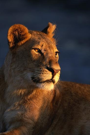 Female Lion-Paul Souders-Photographic Print