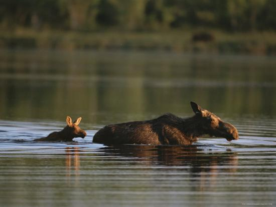 Female Moose and Her Calf in a Maine Lake-Roy Toft-Photographic Print