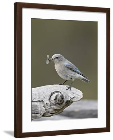 Female Mountain Bluebird (Sialia Currucoides) with an Insect, Yellowstone Nat'l Park, Wyoming, USA-James Hager-Framed Photographic Print