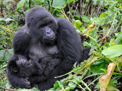 Female Mountain Gorilla with Her Baby, Volcanoes National Park, Rwanda, Africa-Eric Baccega-Photographic Print