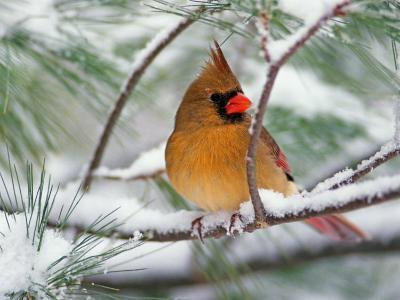 Female Northern Cardinal in Snowy Pine Tree-Adam Jones-Photographic Print