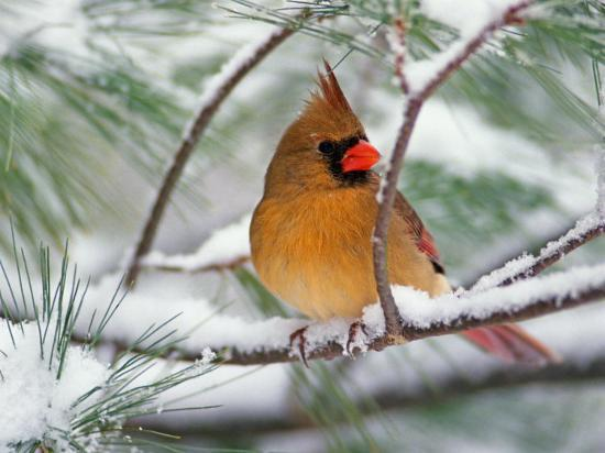 Cathy's Craft Corner: Cardinals in the snow..( I mean rain)  Female Cardinal In Winter