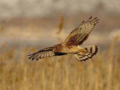 Female Northern Harrier (Circus Cyaneus) in Flight While Hunting, Farmington Bay, Utah, USA-James Hager-Photographic Print
