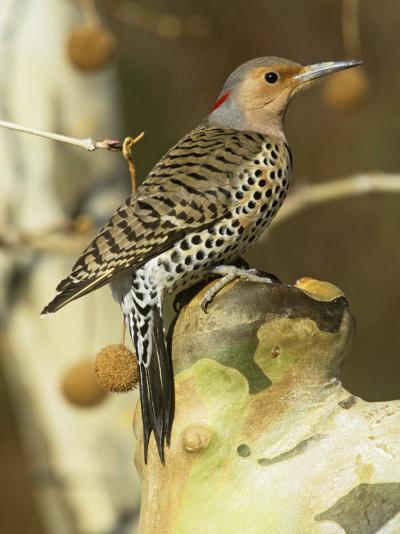 Female Northern or Red-Shafted Flicker in a Sycamore Tree (Colaptes Auratus), North America-Steve Maslowski-Photographic Print