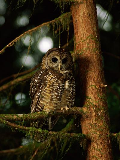 Female Northern Spotted Owl in an Old Growth Forest Area-James P^ Blair-Photographic Print