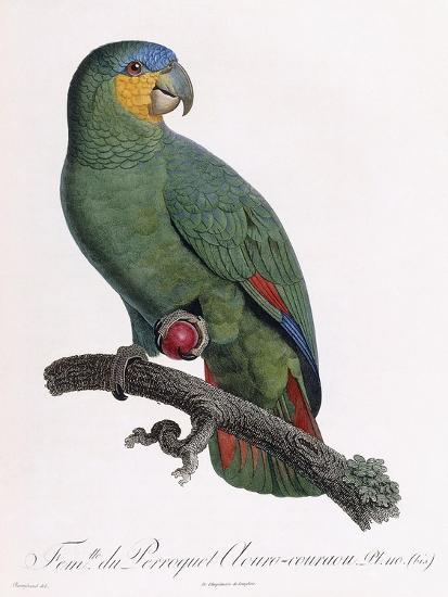 Female of the Douro-Couraou Parrot-Jacques Barraband-Giclee Print