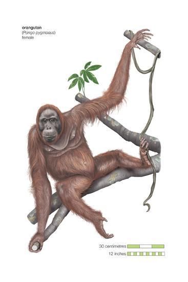 Female Orangutan (Pongo Pygmaeus), Ape, Mammals-Encyclopaedia Britannica-Art Print