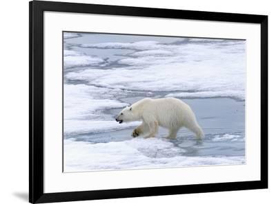 Female Polar bear (Ursus maritimus) walking on pack ice, Svalbard Archipelago, Barents Sea, Arctic,-G&M Therin-Weise-Framed Photographic Print