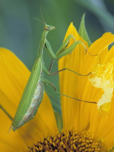 Female Praying Mantis with Egg Sac on Sunflower-Nancy Rotenberg-Photographic Print