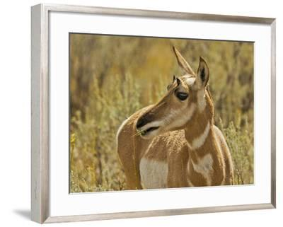 Female Pronghorn, Lamar Valley, Yellowstone National Park, Wyoming, USA-Michel Hersen-Framed Photographic Print