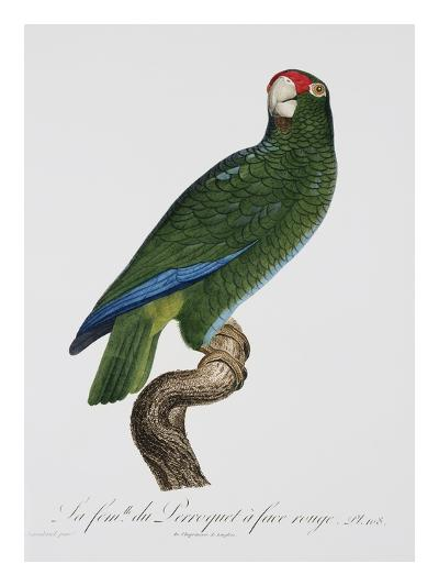 Female Puerto Rican Parrot-Jacques Barraband-Giclee Print
