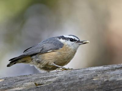Female Red-Breasted Nuthatch (Sitta Canadensis), Wasilla, Alaska, USA--Photographic Print