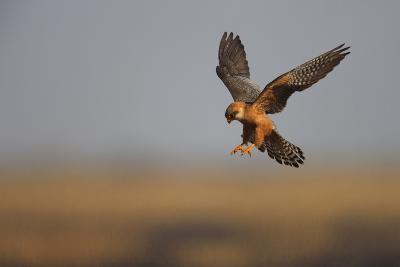 Female Red Footed Falcon (Falco Vespertinus) Hunting, Crimea, Ukraine, July-Lesniewski-Photographic Print