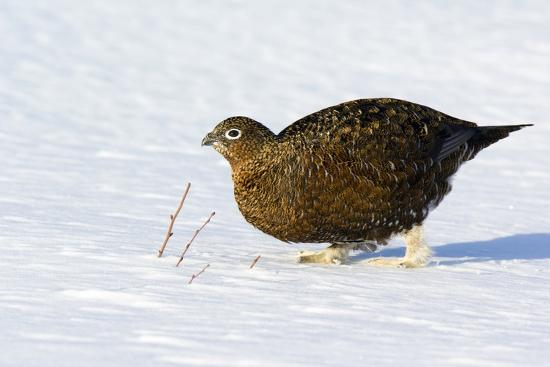 Female Red Grouse In Snow-Duncan Shaw-Photographic Print