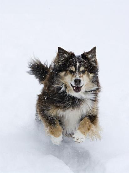 Female Red Tricolor Australian Shepherd Dog Running in Snow, Longmont, Colorado, USA-Carol Walker-Photographic Print