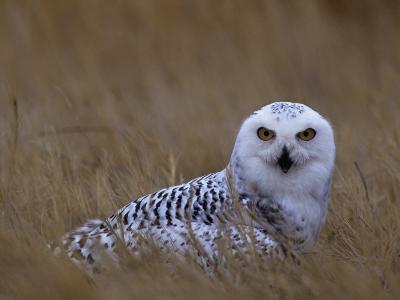 Female Snowy Owl, Nyctea Scandiaca, Standing in Dried Grass, North America-Beth Davidow-Photographic Print