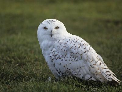Female Snowy Owl (Nyctea Scandiaca) Standing in Green Spring Grass, Arctic North America-Tom Walker-Photographic Print