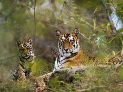 Female Tiger, with Four-Month-Old Cub, Bandhavgarh National Park, India-Tony Heald-Photographic Print
