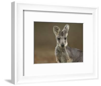 Female Wallaroo at the Sedgwick County Zoo-Joel Sartore-Framed Photographic Print