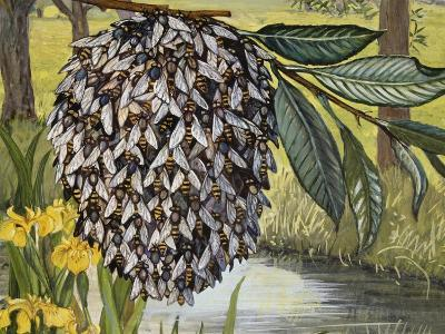 Female Water Snipe Flies Clumping Together for Egg Laying Near Water (Atherix Ibis), Athericidae--Giclee Print