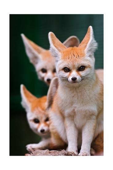 Fennec Foxes-Lantern Press-Art Print