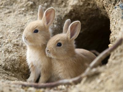 Feral Domestic Rabbit (Oryctolagus Cuniculus) Babies At Burrow-Yukihiro Fukuda-Photographic Print