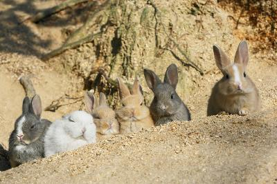 Feral Domestic Rabbit (Oryctolagus Cuniculus) Babies Resting Near Burrow-Yukihiro Fukuda-Photographic Print