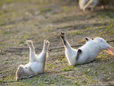 Feral Domestic Rabbit (Oryctolagus Cuniculus) Baby Rabbits-Yukihiro Fukuda-Photographic Print