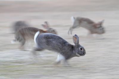 Feral Domestic Rabbit (Oryctolagus Cuniculus) Group Running From Bird Of Prey-Yukihiro Fukuda-Photographic Print