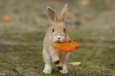 Feral Domestic Rabbit (Oryctolagus Cuniculus) Juvenile Running With Dead Leaf In Mouth-Yukihiro Fukuda-Photographic Print