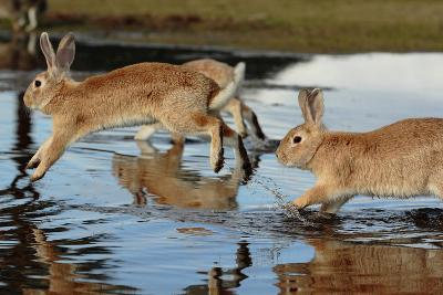 Feral Domestic Rabbit (Oryctolagus Cuniculus) Running in Puddle-Yukihiro Fukuda-Photographic Print