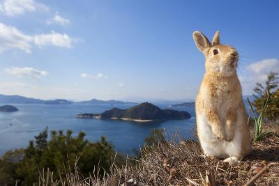 Feral Domestic Rabbit (Oryctolagus Cuniculus) Standing On Hind Legs On Coast-Yukihiro Fukuda-Photographic Print