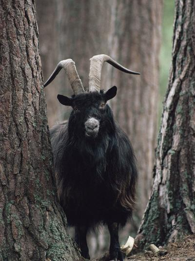 Feral Goat Male in Pinewood (Capra Hircus), Scotland-Niall Benvie-Photographic Print