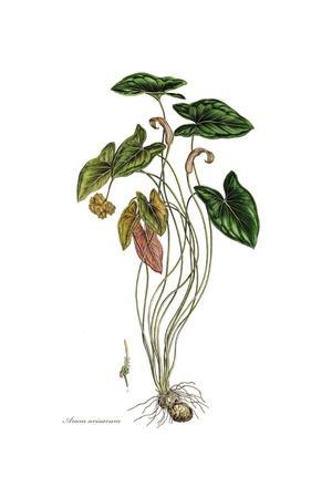 Arum arisarum, Flora Graeca