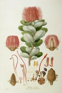 Banksia Coccinea, from 'Illustrationes Florae Novaie Hollandiae', Published 1813 by Ferdinand Bauer