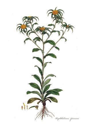 Buphthalmum spinosum, Flora Graeca