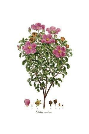 Cistus creticus, Flora Graeca