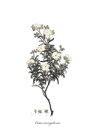 Cistus monspeliensis, Flora Graeca