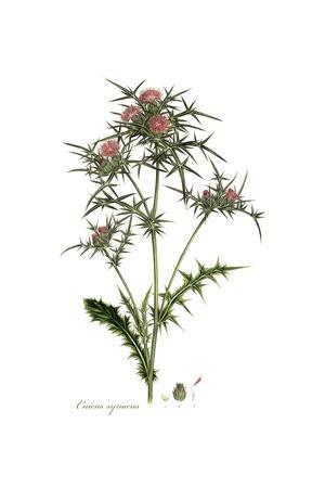 Cnicus syriacus,  Flora Graeca